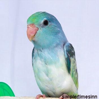 นกแก้วฟอพัส Forpus
