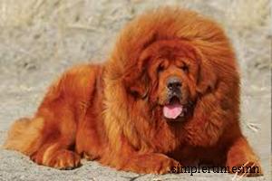 สุนัขพันธุ์ทิเบตัน