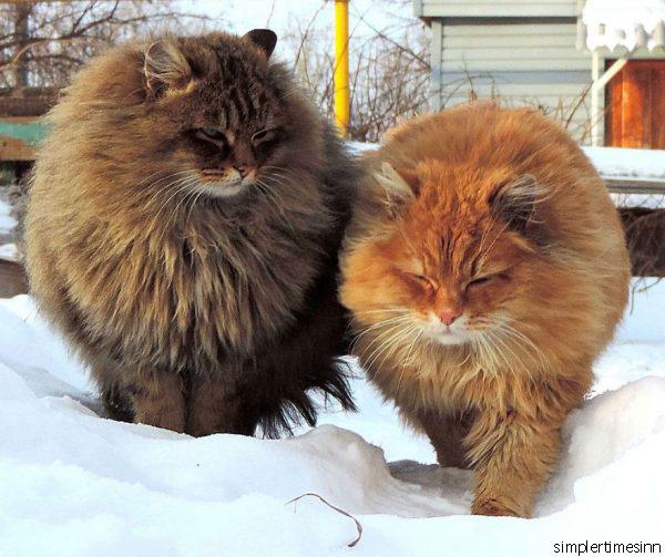 แมวพันธุ์ไซบีเรียน