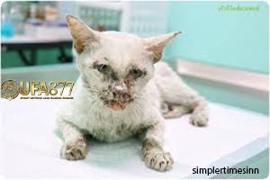 โรคเอดส์แมว