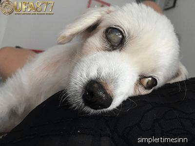 โรคฉี่หนูในสุนัข