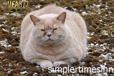 โรคอ้วนในแมว