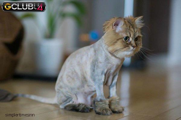 แมวสามารถโกนขนได้หรือไม่
