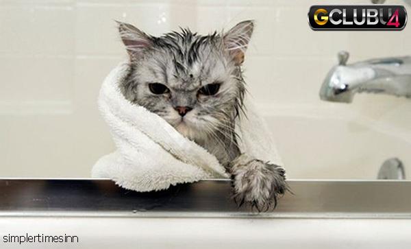 การอาบน้ำให้แมว