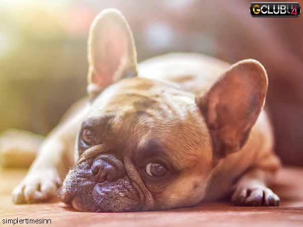 สุนัขท้องเสียต้องทำอย่างไร