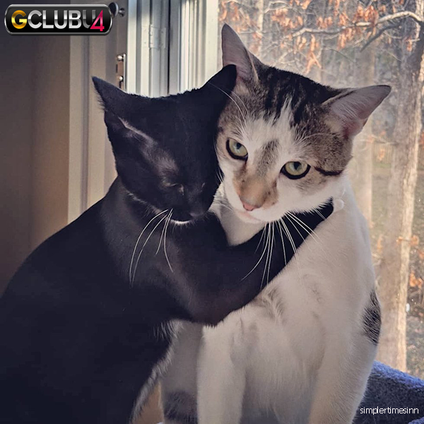 คู่หูที่ดีที่สุดสำหรับแมวตัวผู้ที่มีอายุมาก