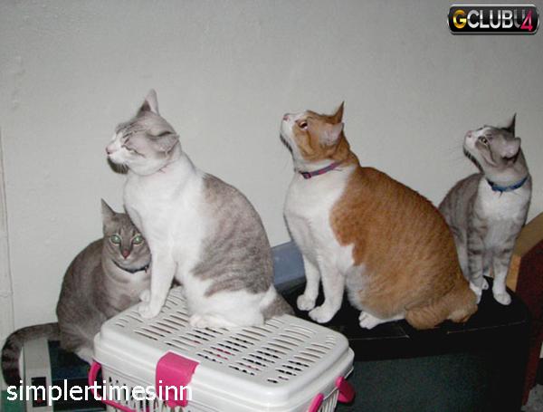 วิธีดูแลแมวอ้วน