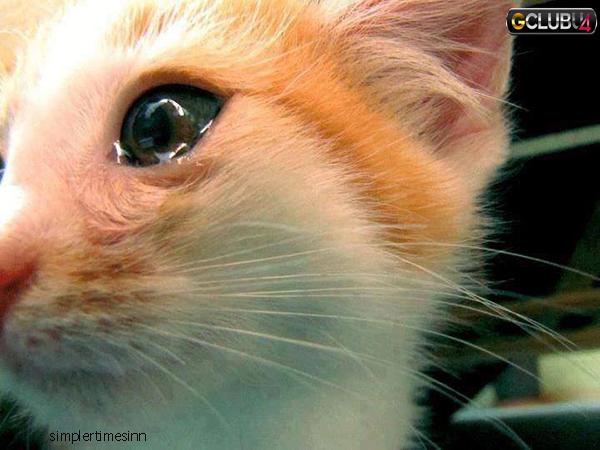 แมวร้องไห้อันตรายอย่างไร