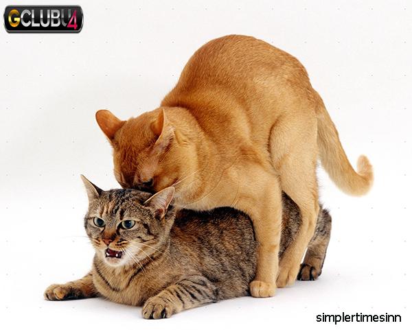 การผสมพันธุ์ในแมว
