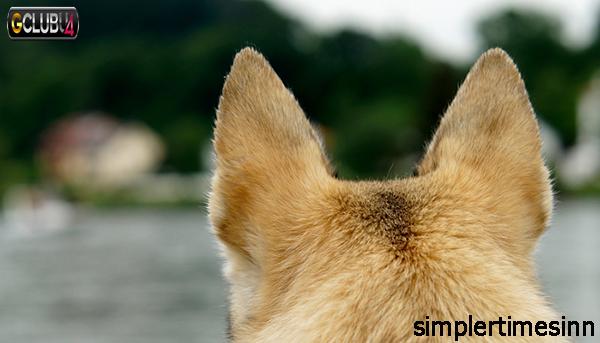 ปัญหาหูที่พบบ่อยในสุนัข