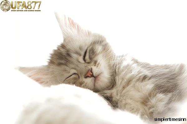 แมวนอนกี่ชั่วโมงต่อวัน
