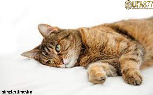 สาเหตุของการอาเจียนและท้องร่วงในแมว