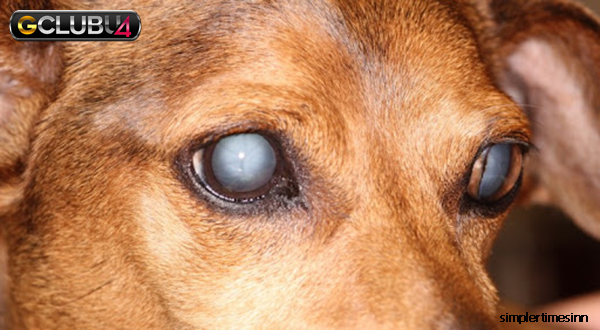 อาการของโรคเบาหวานในสุนัข