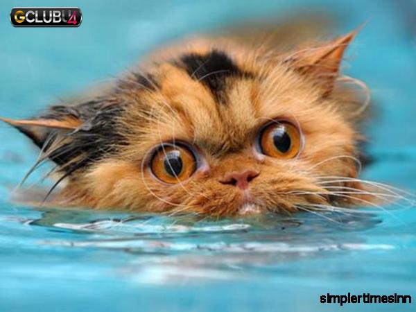 เหตุผลที่แมวเกลียดน้ำ