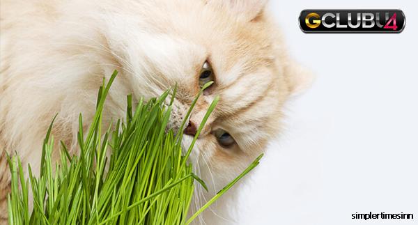ทำไมแมวถึงกินหญ้า